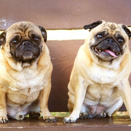 two pugs represent the buddy system when making new year resolutions that stick