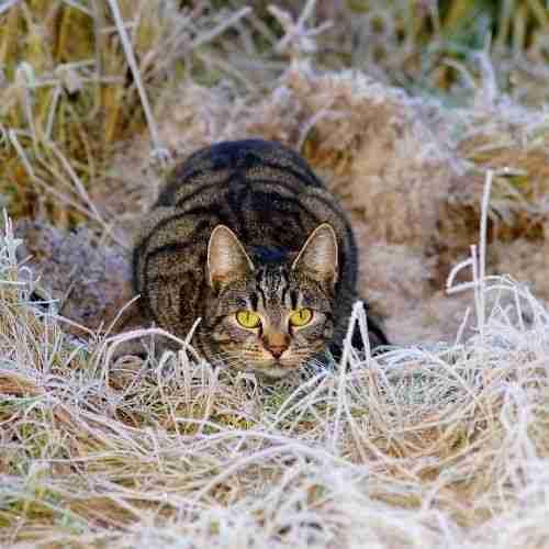 a stalking cat