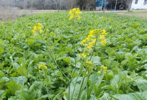 Field of Mustard Greens