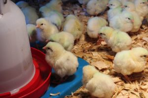 Raising Chickens - baby chicks