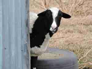 Sheep peeking around a shed
