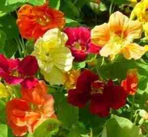 Flowers - nasturtiums