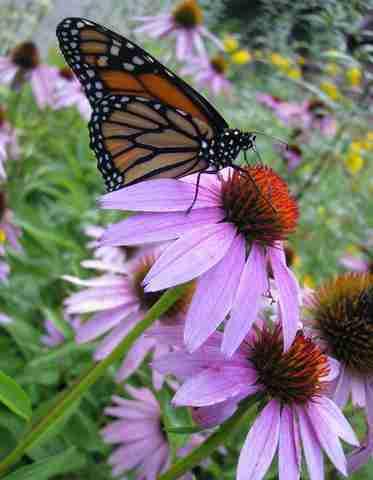 Flowers - Butterfly Garden