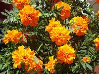 Flowers - Marigolds