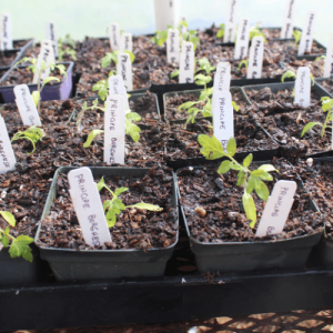 Growth - Vegetable Seedlings