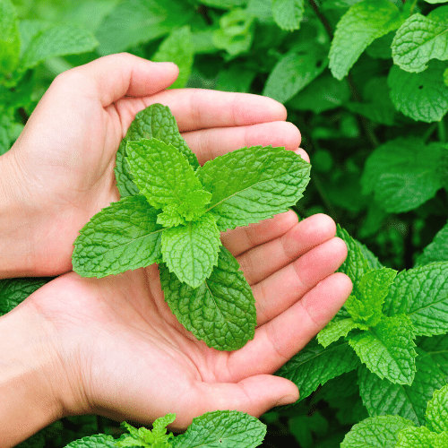 You'll Love to Grow Peppermint