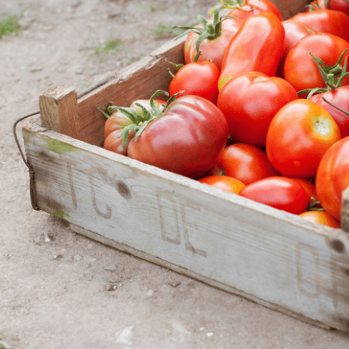 Tomatoes - the ultimate in italian vegetables