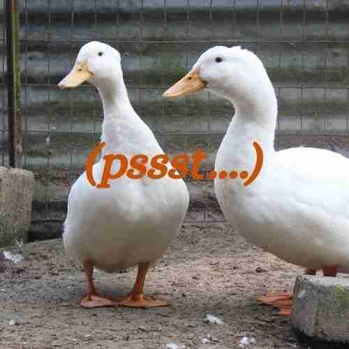 (pssst) two ducks listening