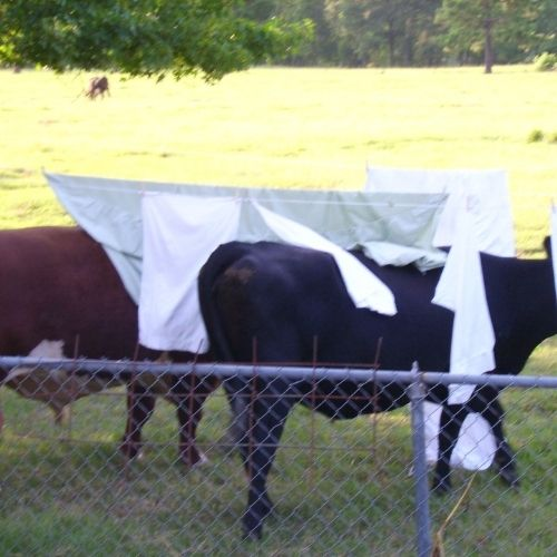 cows cooling off under clean clothes on a clothesline