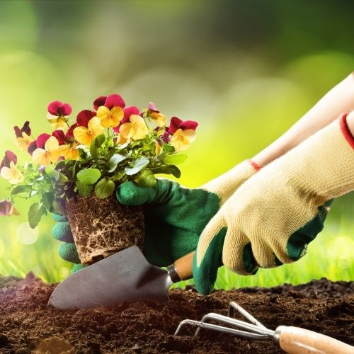 gloved hands planting yellow and red ansies
