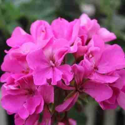 a bright pink geranium