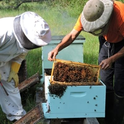 two beekeepers examining a hive