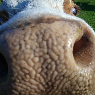 the nose of a curious cow