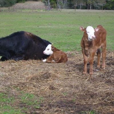 a calf watching out for a mama and baby taking a nap