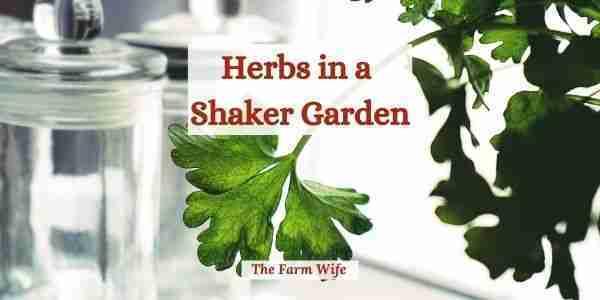 herbs in a shaker garden
